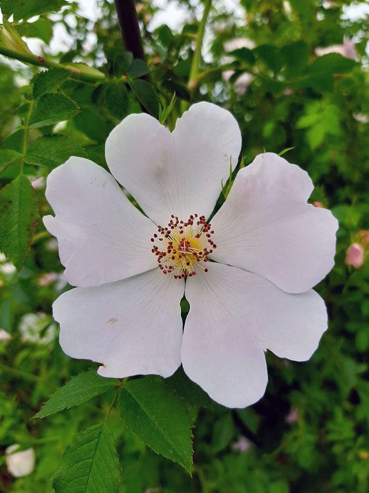 Agrose cvet šipka