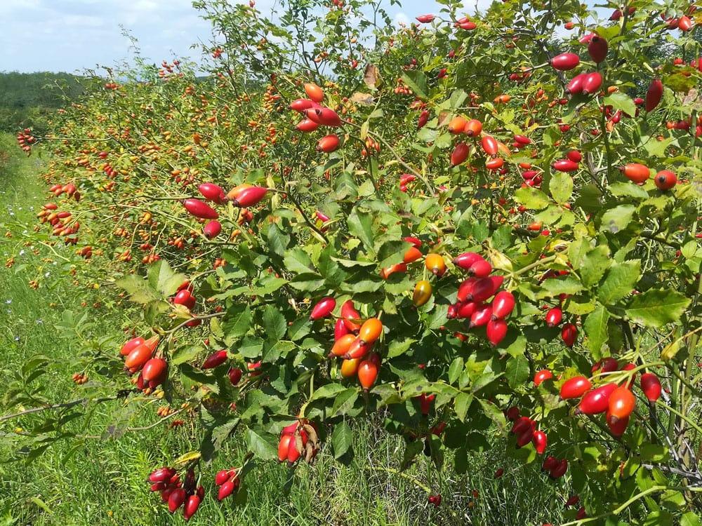 Agrose prirodni šipak